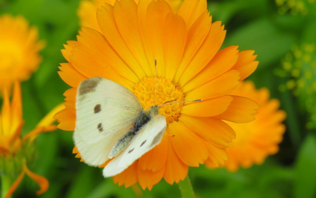 Dolori mestruali e piante: la calendula